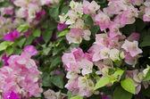 Bougainvillea-blüten. — Stockfoto
