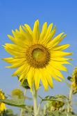 Beautiful landscape with sunflower field. — Stock Photo