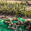 Stock Photo: Ripe pineapple at fruit market