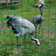 Herons in captivity — Stock Photo