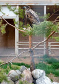 Bird of prey in captivity — Stock Photo