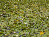 Surface lily pads — Stock Photo