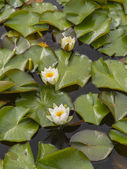 The water lilies — Stock Photo