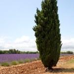 ������, ������: Cypress