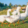 White goose against farm buildings — Stock Photo