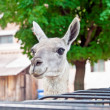 Llama in the zoo  — Stock Photo