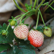 Group strawberry in garden — Stock Photo #32429899