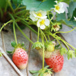Group strawberry in garden — Stock Photo