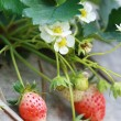Group strawberry in garden — Stock Photo #32434341