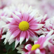 Fresh pink flower — Stock Photo