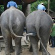 Ass of two elephants, Thailand — Stock Photo