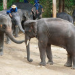 Many elephant — Stock Photo