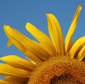 Sunflower garden — Stock Photo