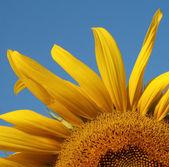 Sunflower garden — Stock Photo