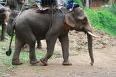 A elephant walking — Stockfoto