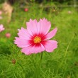 One cosmos pink flower in garden — Stock Photo