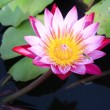 White pink lotus — Stock Photo