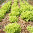 Growing lettuce in rows in the vegetable garden  — Stock Photo