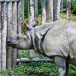 Stock Photo: Asiatic rhinoceros, Thailand