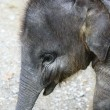 Elephant, baby — Stock Photo