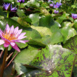 Stock Photo: Lotus lake