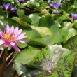 Lotus lake — Stock Photo #32445619