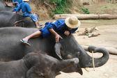 Mahout zrelaksowany grać z słoń, chiang mai, tajlandia — Zdjęcie stockowe