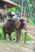 Elephant with long tusk — Stock Photo