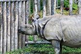 Azjatycki nosorożec, tajlandia — Zdjęcie stockowe