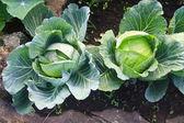 Cabbages in the garden — Stok fotoğraf