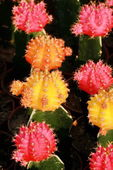 Colorful cactus — Stock Photo
