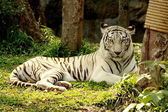White Tiger lie on grass in forest — Stock Photo