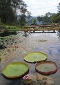 Victoria amazonica grand lotus in lake — Stock Photo