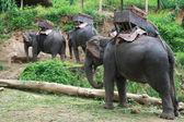 Elefantes para la tala, chiang mai, tailandia — Foto de Stock