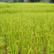 Paddy field  — Foto Stock