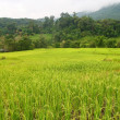 Stock Photo: Lush green rice fields, small plots cultivated by nature.