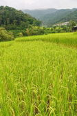 Paddy field, Thailand — Stockfoto