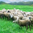 Sheep in grass field — Stock Photo #35660949