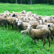 Sheep in grass field — Stock Photo #35662691