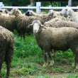 Sheep looking at camera — Stock Photo