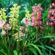 Colorful cymbidium orchids — Stock Photo