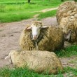 Group on sheep — Stock Photo #35666399