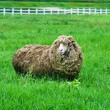 One long hair sheep — Stock Photo #35666765