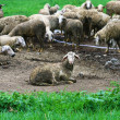 Dirty lamb in farm — Stock Photo #35666891