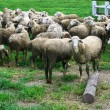 Group of sheep — Stock Photo #35667151