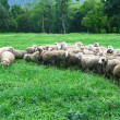 Sheep in farmland — Stock Photo #35667379