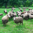 Sheep in field — Stock Photo