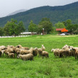 Sheep in farmland, Thailand — Stock Photo #35667559