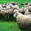 Group of sheep — Stock Photo #35667631