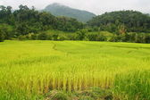 Paddy field , Chiang Mai, Thailand — Stock Photo